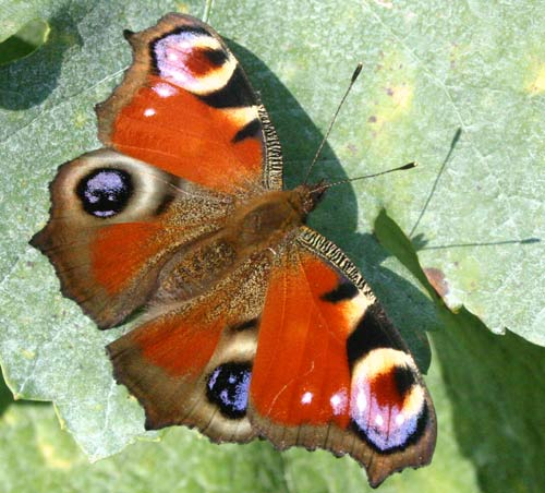 papillon500x450
