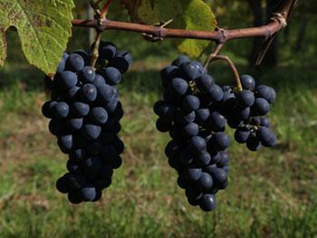 Pinot Noir Rosenberg 2016