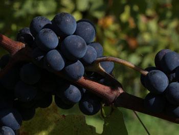 Pinot Noir Schoflit 2016